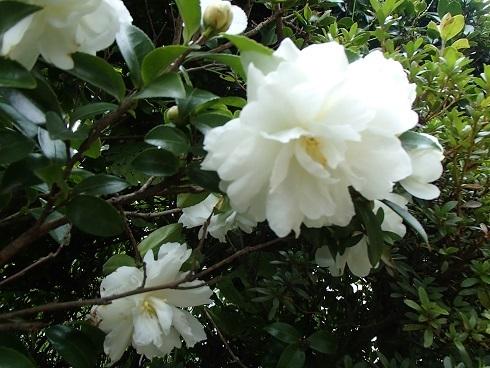 2016 11 14 白い山茶花.jpg