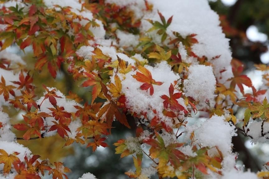2016 11 24 雪の布団を身に纏う紅葉 ブログ用.jpg