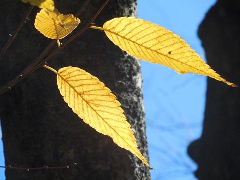 通りすがりに見かけた黄葉 1