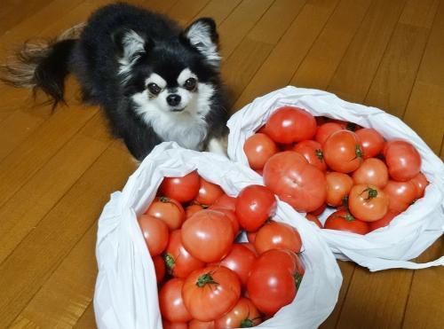 トマト大漁!!