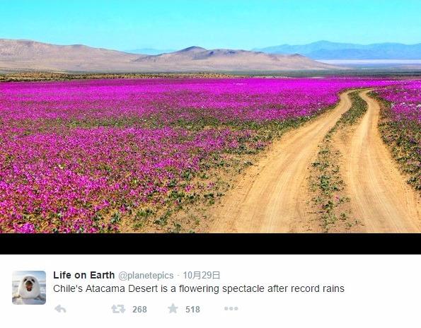 【異常気象】チリのアタカマ砂漠に「花」たちが咲き乱れる…エルニーニョの副産物