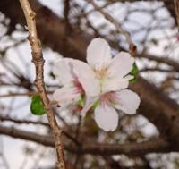 15東京16 冬桜