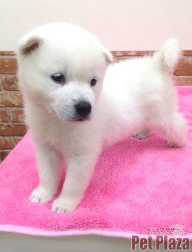 紀州犬151001-1