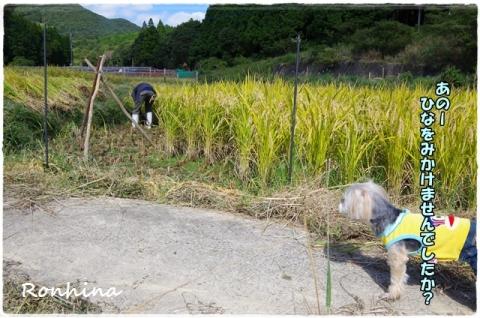 稲刈り2015⑭