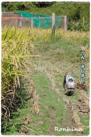 稲刈り2015⑫