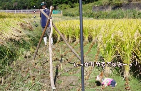 稲刈り2015 21