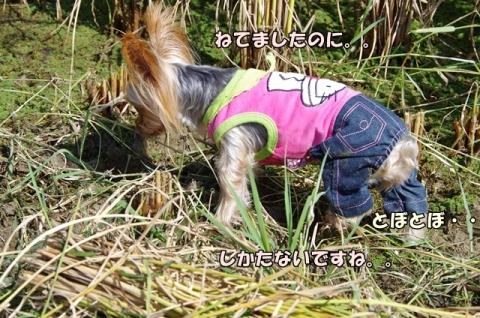 稲刈り2015⑳