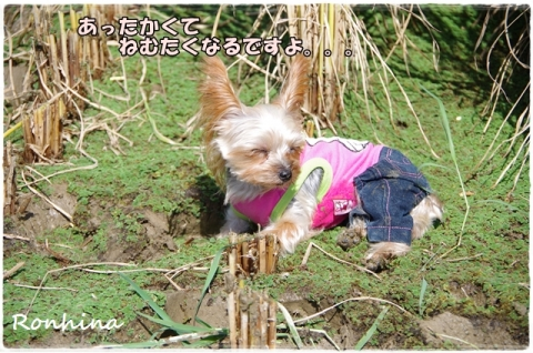 稲刈り2015 22