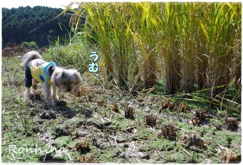 稲刈り2015 30