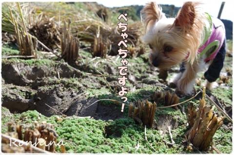 稲刈り2015 35