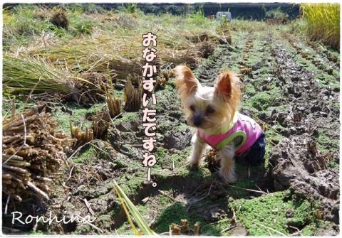 稲刈り2015 36