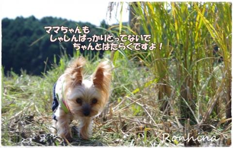 稲刈り2015 33