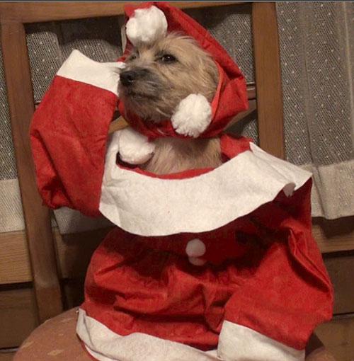 犬のクリスマス 愛犬サンシンちゃん