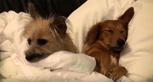 愛犬サンシン、サンバ