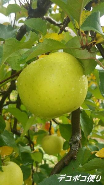 20151116 リンゴ1