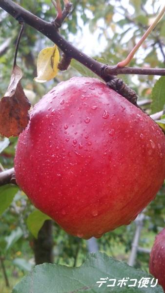 20151116 リンゴ2