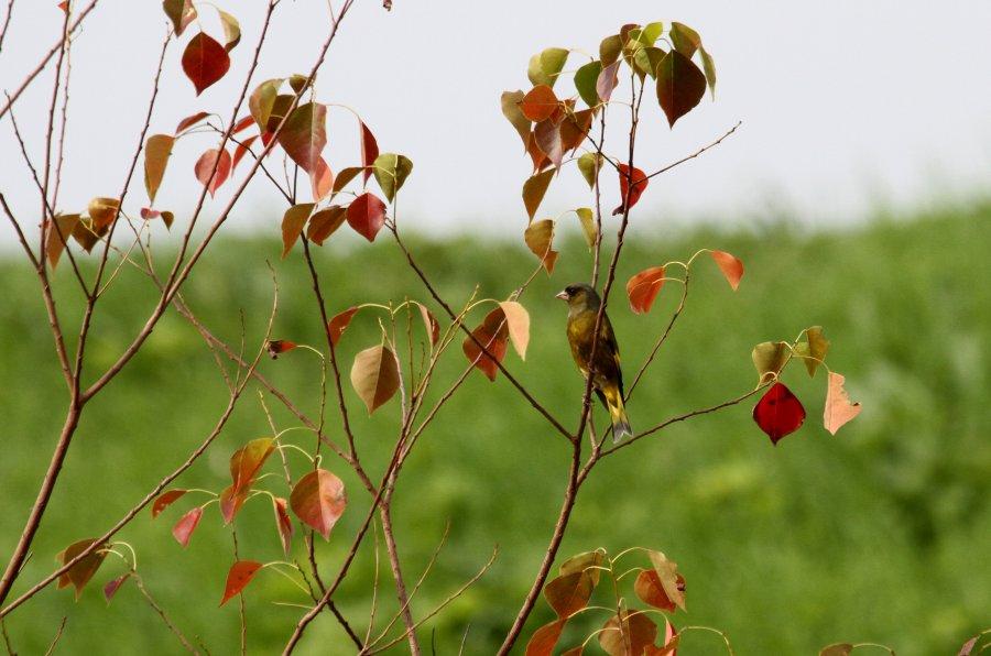 カワラヒワ2015-11-17-1-t淀川-三島江IMG_1815