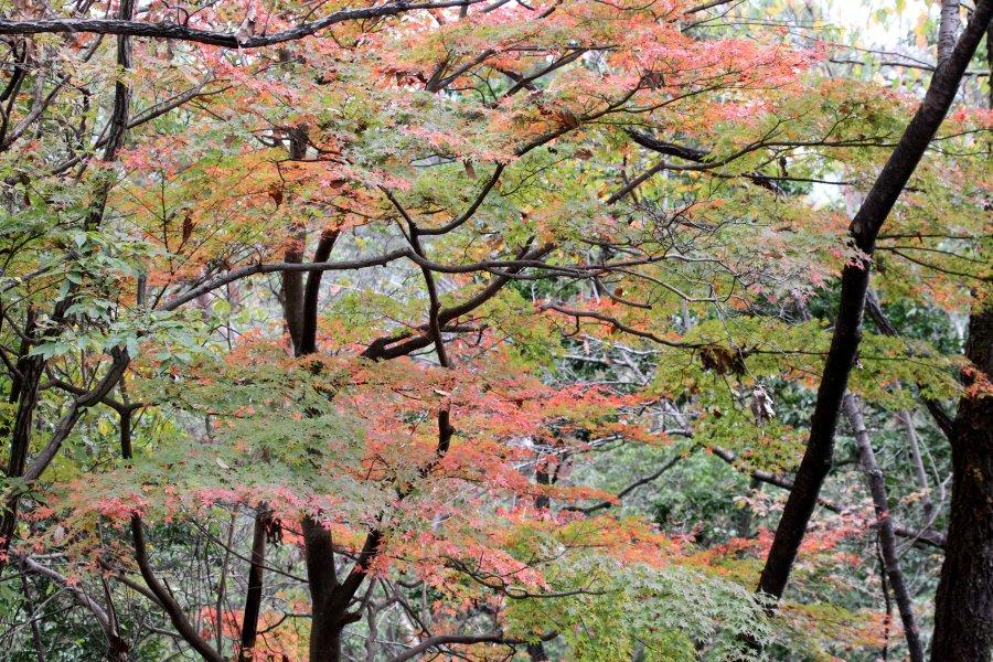 紅葉2015-11-21-1-S高槻市-摂津峡IMG_0780
