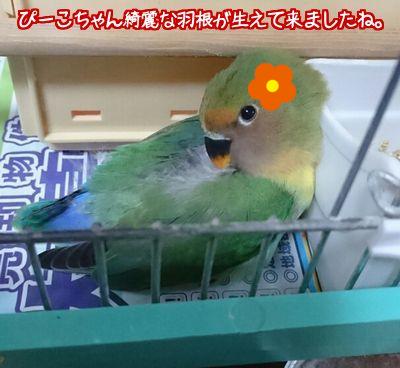 ぴーこちゃん冬支度2