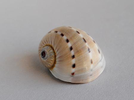 フロガイ03-殻頂