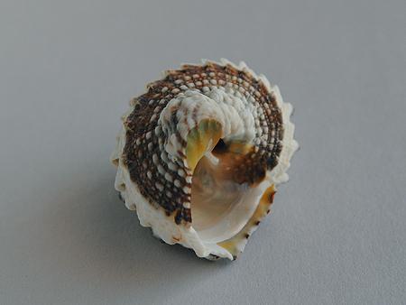 カンギク-殻底