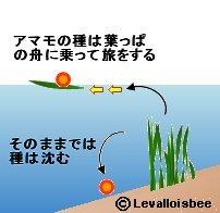 アマモの種は葉っぱの舟に乗って