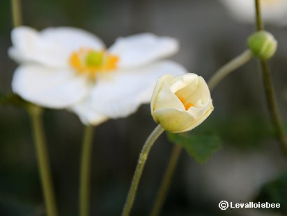 開き始めた秋明菊の花REVdownsize