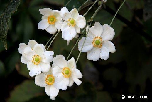 咲き競う秋明菊downsize