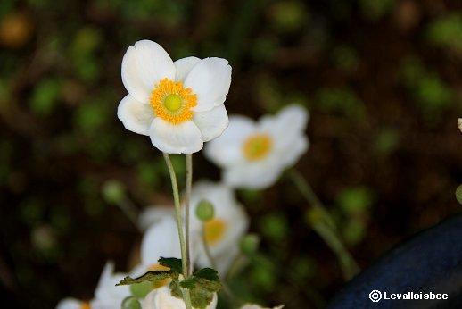 日陰に清楚な白が印象的な秋明菊downsize