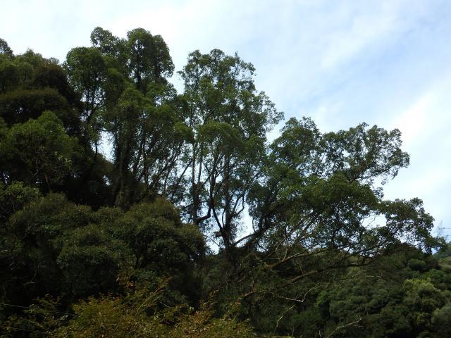 神山町で一番大きなクスノキ