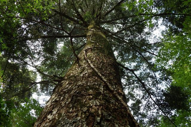 モミの大木