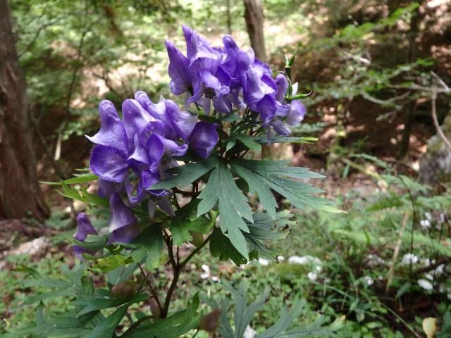 シコクブシの花