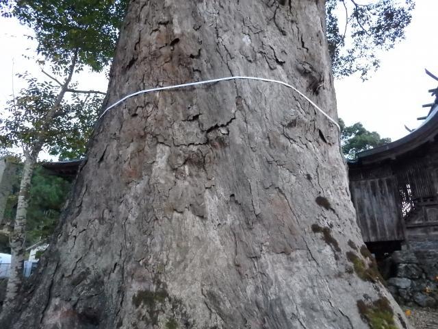 イチイガシの幹