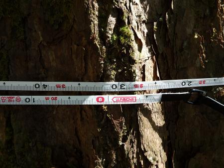 幹周は331cm