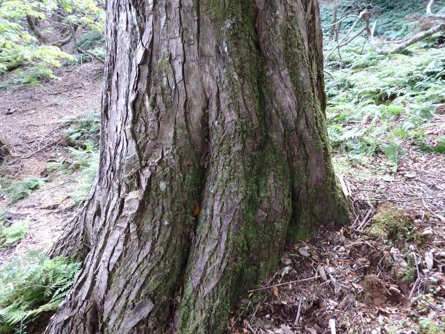 ハリギリの大木の根元