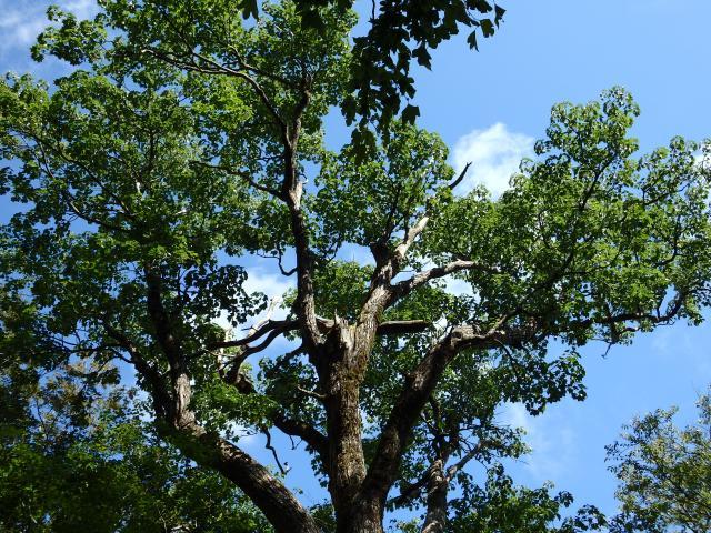 ハリギリの大木