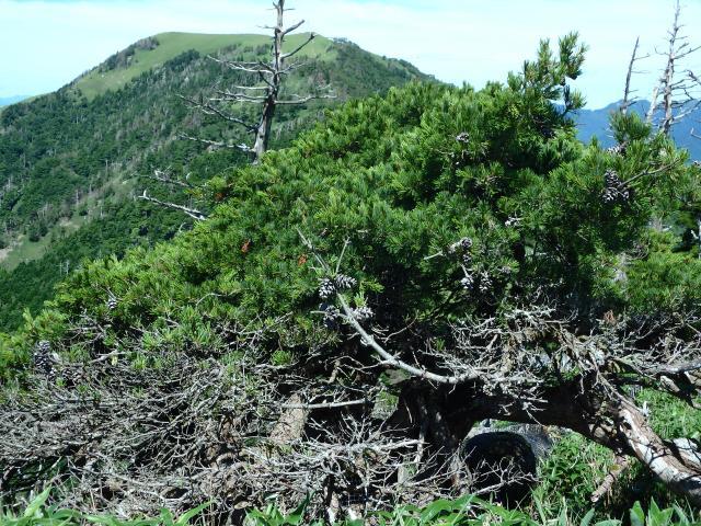 一の森山頂のヒメコマツ