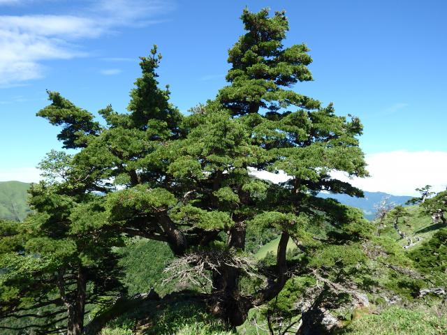 一の森山頂の見事なヒメコマツの古木