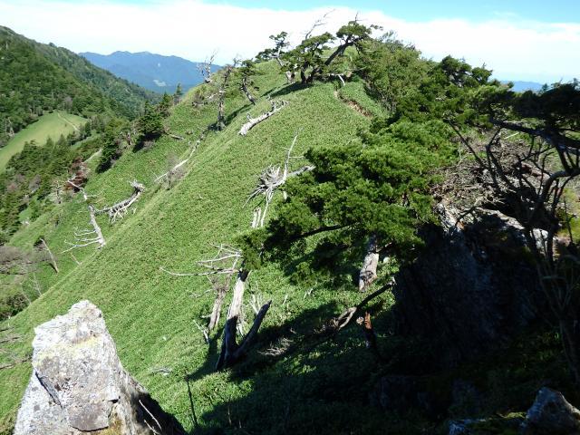 一の森の稜線に自生するヒメコマツ