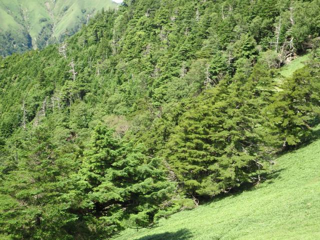 美しい針葉樹林だ