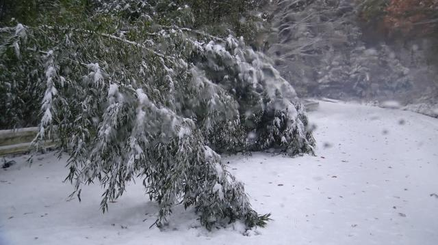 積雪わずか10センチでもタケはおじぎする