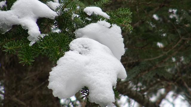 ウラジロモミの葉の上に綿帽子