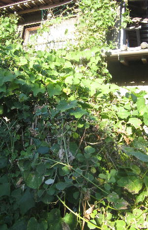 菜園のハヤトウリ (1)