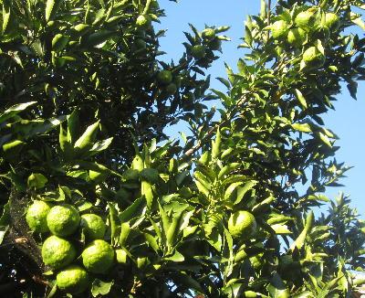 菜園の果樹 (4)