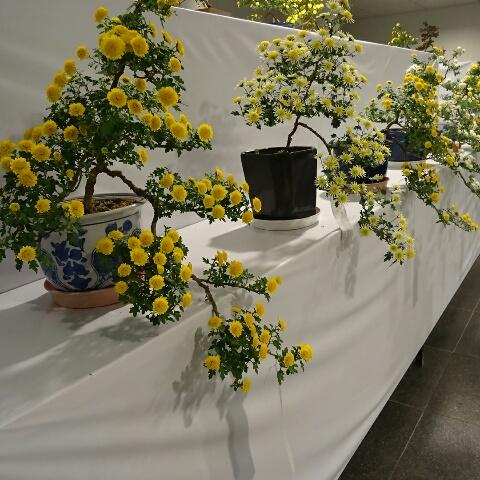 菊祭り 二
