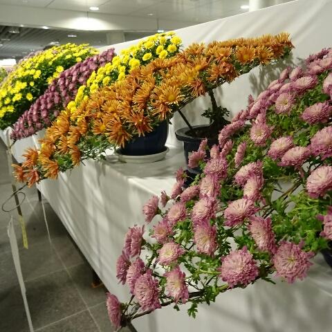 菊祭り 三