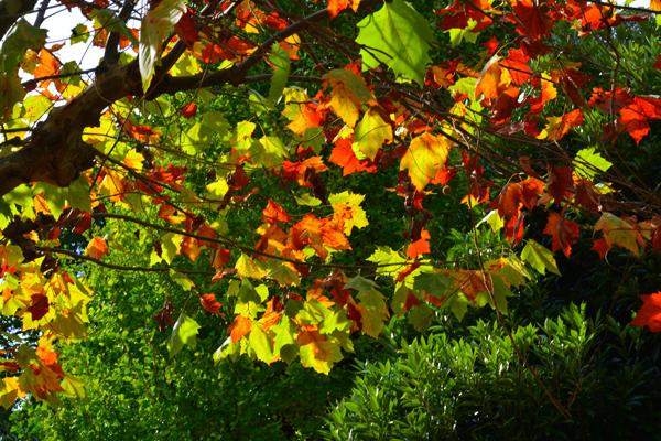 公園の色づく葉