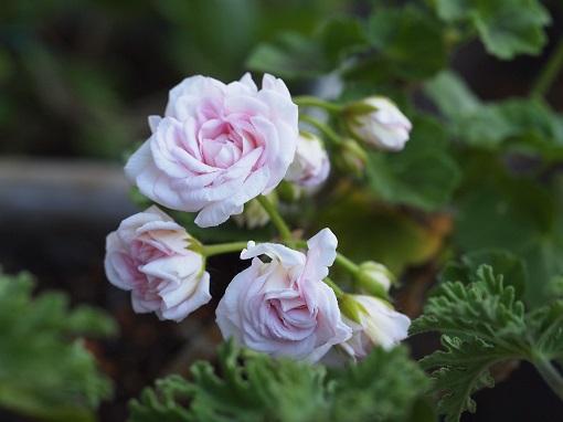 バラ咲きゼラニューム ミルフィールドローズ