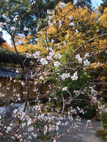 不断桜(西明寺)