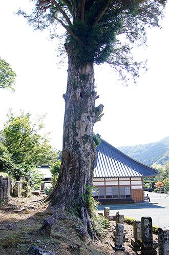 151006弘道寺のカヤ②